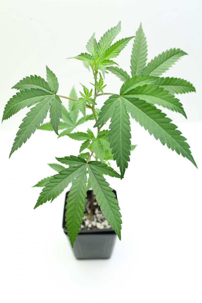 marijuana clone